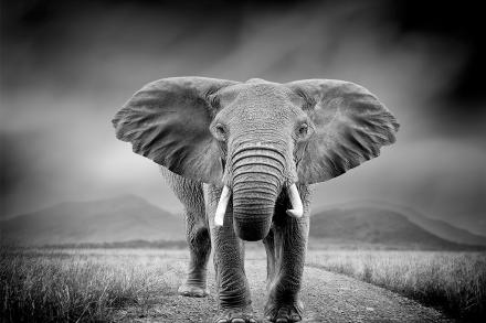 Διακοσμητικό Πίνακας με απεικόνιση ενός ελέφαντα σε ασπρόμαυρο χρωματισμό